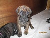 We had eight Bullmastiff puppies born on May 28, 2012.