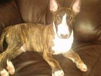 Hello I have a brindle male English bull terrier who I