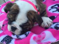 Dolce is a brindle English bulldog female puppy. She's