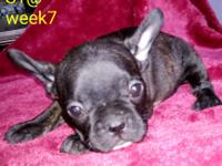 Fem. French Bulldog puppy No AKC papers her price is