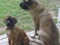 We have 1 nice brindle female for $900, 1 nice apricot