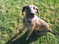Kita is a one year old female Great Dane,she is crate
