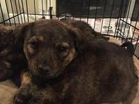 Brindle Female Pup's story This beautiful brindle