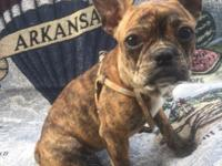 Frenchton female, 9 months, sold as pet only for 1000,