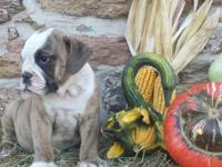 2 Brindle male bulldogge pups ready now! These boys are