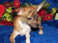 Beautiful brindle pit bull pups have 1 grey female and