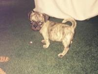 Brindle pug puppy, male, purebred and registered This