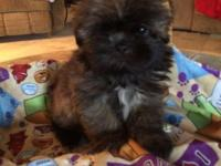 Awesome lil red brindle male shihtzu weighs 2 pounds at