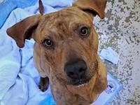 Brit's story Brit the beautiful brindle what? We have