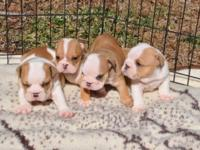 Offered are Three guys, AKC reg Ready to go February