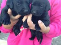 I have 5 black pups left they r black and males
