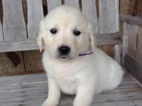 We have gorgeous male and female AKC light cream Golden