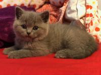 I have beautiful blue boy of British shorthair. He is