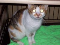 British Shorthair - Courtney - Small - Adult - Female -