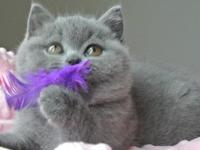 Aurabeau British Shorthair has kittens available