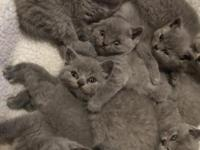 Beautiful british shorthair Kittens available for sale.