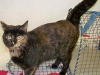 British Shorthair - Lucy ~very Low Adoption Fee!!!~ -