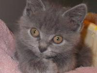 Beautiful British shorthair mix kittens, they have the