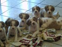 Pointers & Pines Brttany's Litter announcement. Puppies