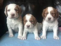 I have a litter of AKC White and Orange Brittany