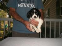 AKC Brittany Female Very intelligent.Home raised with