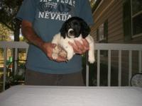 AKC Brittany female. Very intelligent very easy to