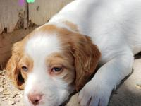 Lola is 1 of 7 AKC champion bloodline Brittany puppies