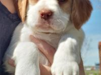 Lillie is 1 of 7 AKC champion bloodline Brittany
