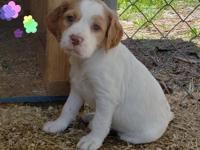 Cora is 1 of 7 AKC champion bloodline Brittany puppies