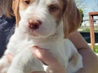 Boomer is 1 of 7 AKC champion bloodline Brittany