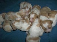 AKC registered Brittany pups. 8 males and 3 females.