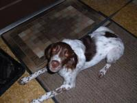 I am offering a fantastic young female Brittany that is
