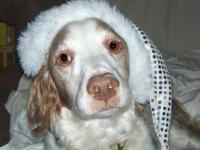 Brittany Spaniel - Buddy - Medium - Senior - Male -