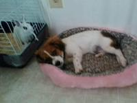 9 wk old Brittany Spaniel for adoption. Little girl is