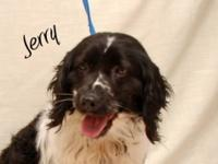 Brittany Spaniel - Jerry - Medium - Adult - Male - Dog