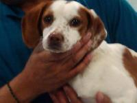 Brittany Spaniel - Ken - Small - Young - Male - Dog