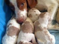Brittany Spaniel puppies prepared for their new houses