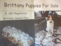 8 AKC registered Brittany Spaniel pups for sale- male