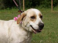 Brittany Spaniel - Snickers - Medium - Young - Female -