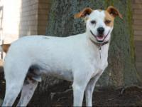 Brittany Spaniel - Tuffy Adoption Special - Small -