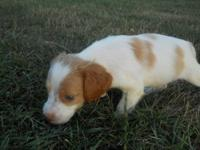 Beautiful, flashy Brittany Spaniel puppies ready to go.