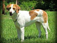 Brittany Spaniel - Dainty - Large - Adult - Female -