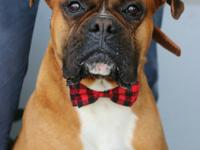 Meet Brixton,   4 year old male Boxer who loves to the