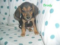 """Brody"" is an adorable Beagle/Black and Tan Coonhound"