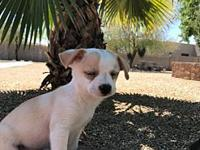 Brody's story Brody is an 8 week old small white and