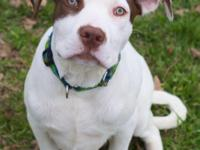 Brody is a 6 month old male pit bull mix looking for