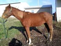 We have a 6 year old gelding. He is 15.2 hands. He is