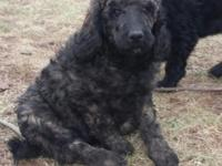 Bromley is an 11 week old female Standard Poodle. She