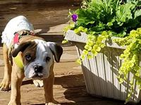 My story Bronn is a 4 month old English Bulldog who has