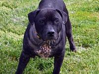 Bronson's story Bronson is a male 6-7 year old Shar Pei